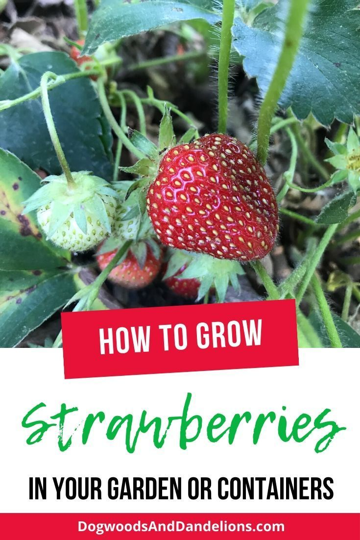 How To Grow Strawberries In 2020 Growing Strawberries Growing Fruit Strawberry