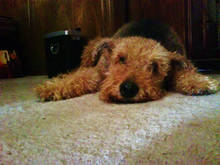 Cute Wallpapers With 0424 On It 99 Best Airdale Images On Pinterest Airedale Terrier