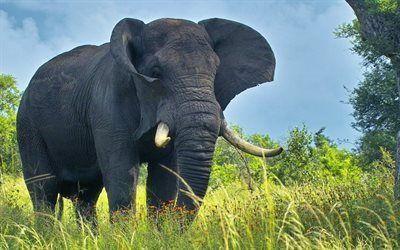 Scarica sfondi grandi elefanti, foto di elefanti, elefante, africa