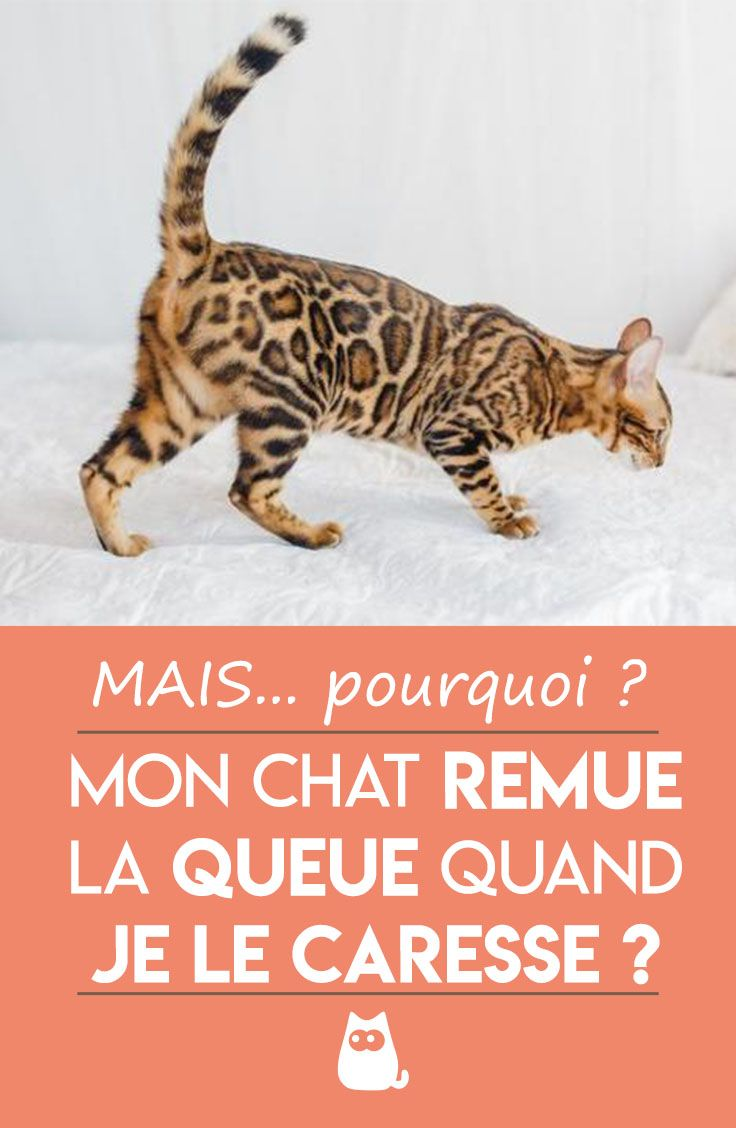 un chat qui remu la queue est il mécontent ? - Chats