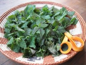 how to harvest and utilize stinging nettles for their amazing medicinal and culinary benefits.  recipes and remedies.