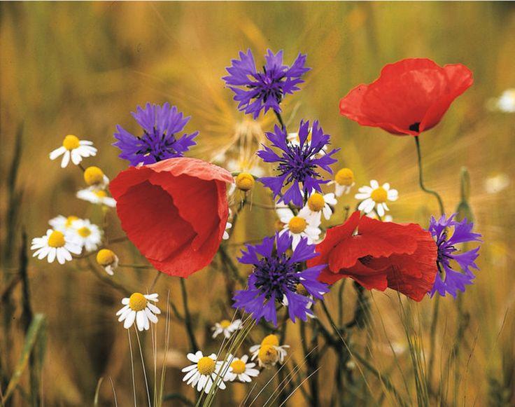 Mohnblume und Kornblume / Poppy and Cornflower
