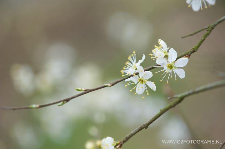 spring, blossom, white, flower