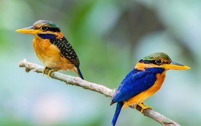 птица, зимородок, хвост, клюв, перья, пара, ветка