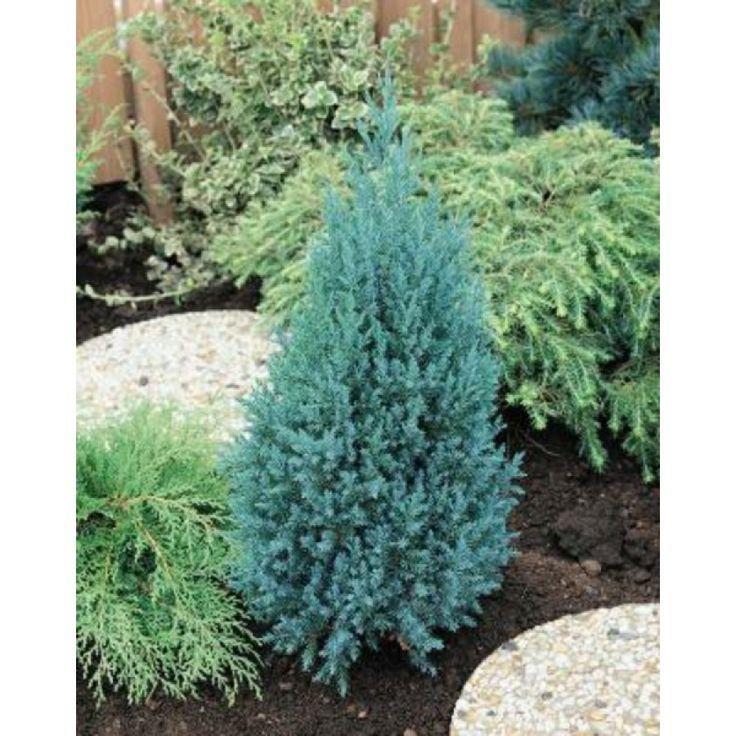 Eviggrønn, kjegleformet og kompakt einer med blågrønt, stikkende bar. Nøysom og vokser langsomt, 5-10 cm pr år. Bør beskyttes mot sol på senvinteren, især planter som står i krukker. ...