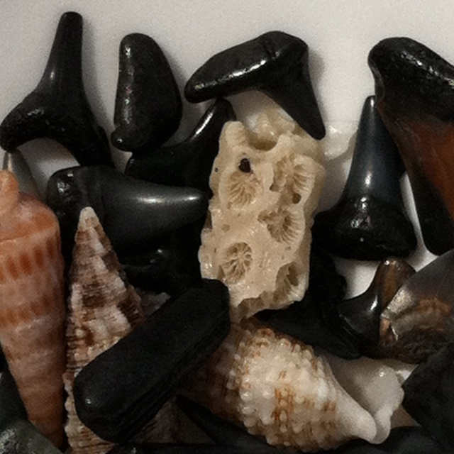 venice fl shark tooth - photo#12
