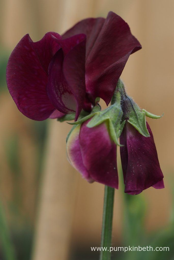 Lathyrus odoratus 'Windsor' is a dark maroon coloured sweet pea.