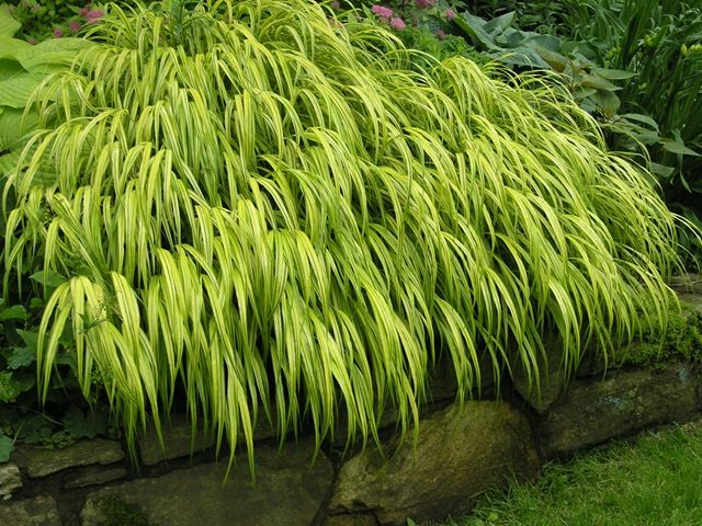 53 best monkey grass plants that grow in the shade for Tall grasses for shade