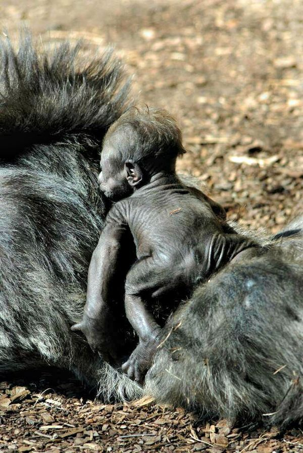 A male Western Lowland Gorilla born at the Oklahoma City Zoo on Valentine's Day was given a name on his one-month birthday: the baby will be called Leom, which combines the last two letters of his mother's name, Kelele, and...