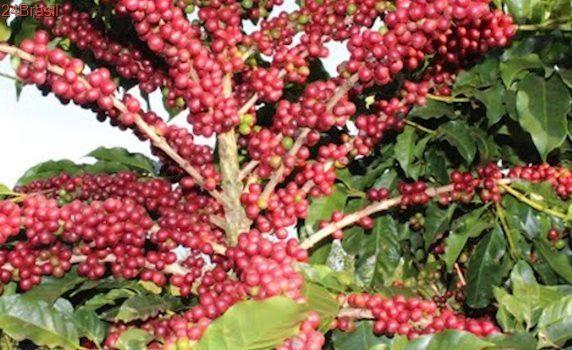 Ladrões levam 50 sacas de café de propriedade rural de Rio Bananal
