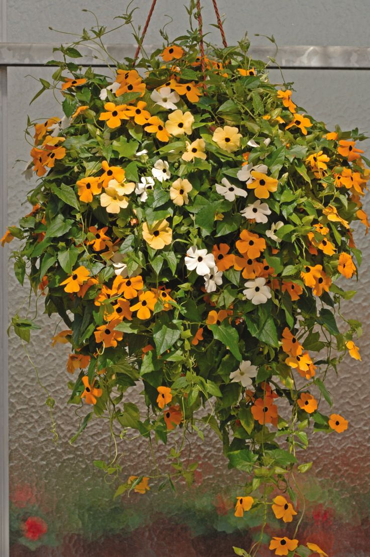 Blackeyed Susan vine SEEDS Mix COLOR,(Thunbergia alata) White,Gold ,And Yellow,It's a fast climber, lush foliage and masses of blooms.