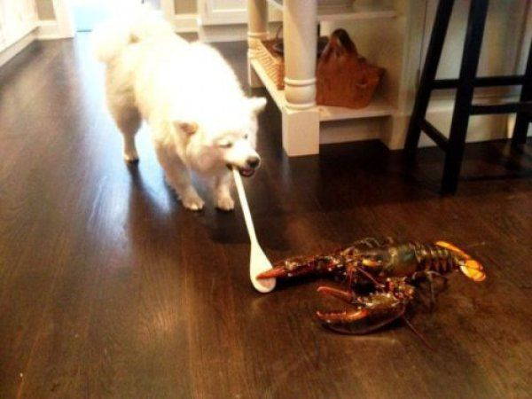 Just a dog fighting a lobster with a spoon. Nothing to see here, move along.