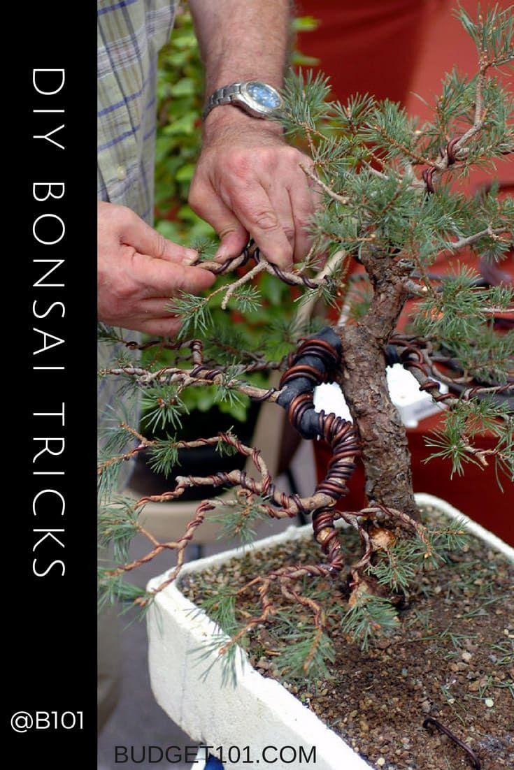 Astounding How To Wire Bind Bonsai Trees Bonsai Bonsai Tree Care Wisteria Wiring 101 Ouplipimpapsstreekradiomeanderfmnl