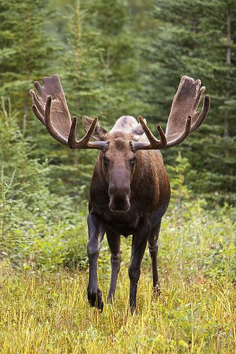 Bull Moose in velvet. | Flickr - Photo Sharing!