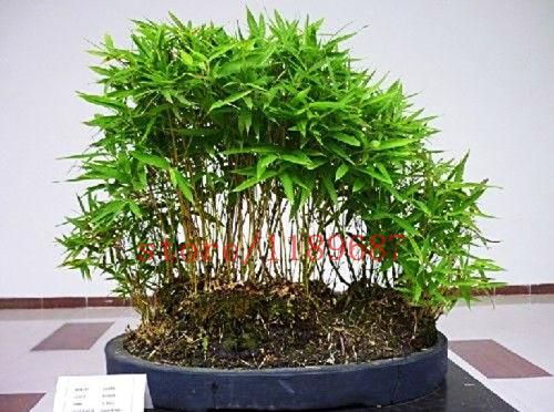 50 mini moso Bamboo Seeds bamboo seeds bonsai garden seeds potted balcony budding rate of 90% DIY for home garden planters