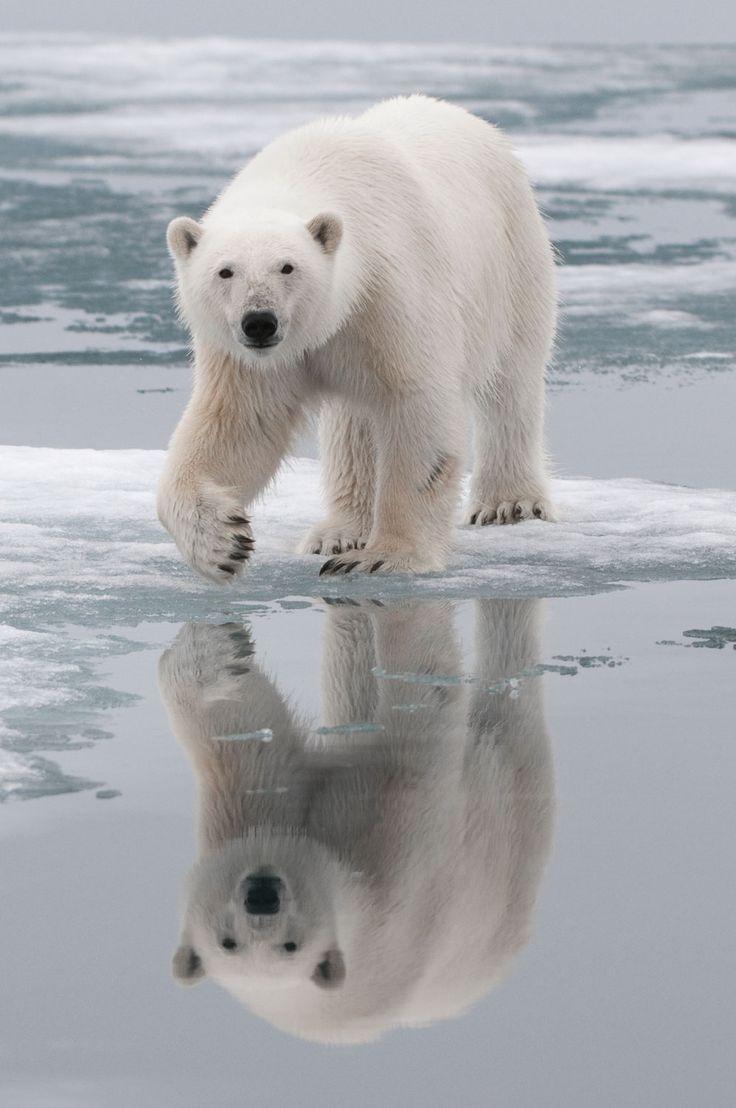 best 25 polar bear predators ideas on pinterest polar bears