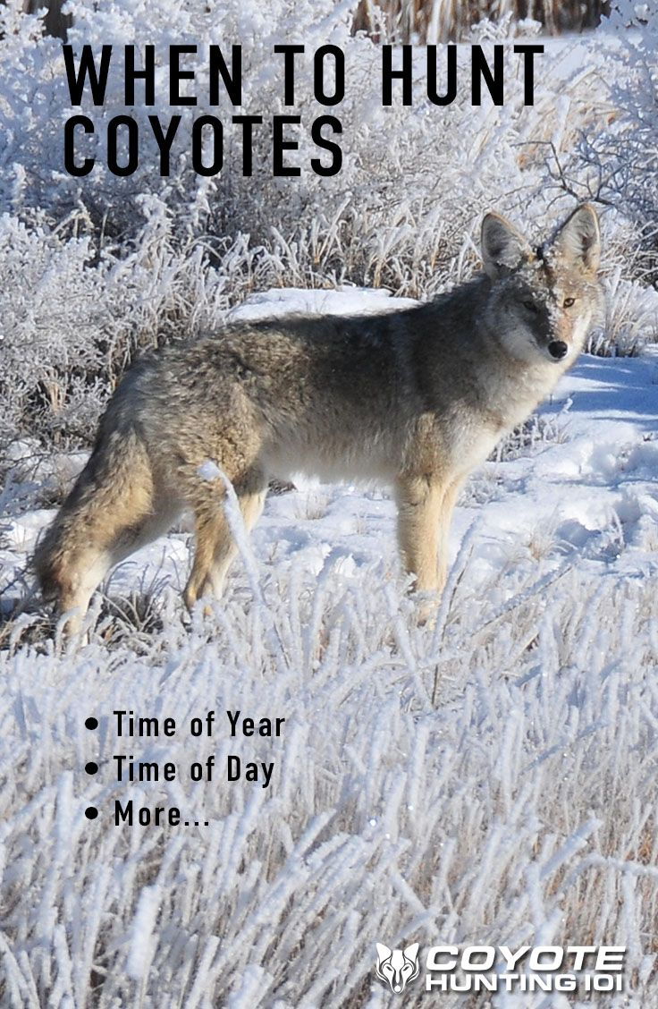 Colorado Air Quality >> When to Hunt Coyotes | Spring time and Fall winter