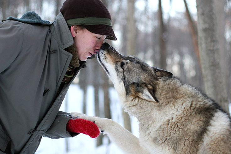 At Polar Park in Norway, you can interact and cuddle with tame wolves while learning about the important role they play in the ecosystem.