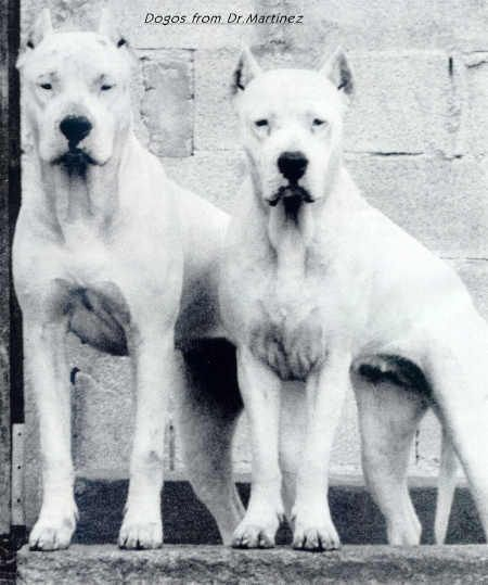 Amazing Dogo Chubby Adorable Dog - 998214c3cbf1b2c8882d564fdabbea37--dogue-argentin-shop-ideas  Snapshot_983986  .jpg