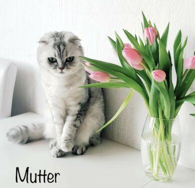 BKH/BLH Kitten in NordrheinWestfalen Kierspe Britisch