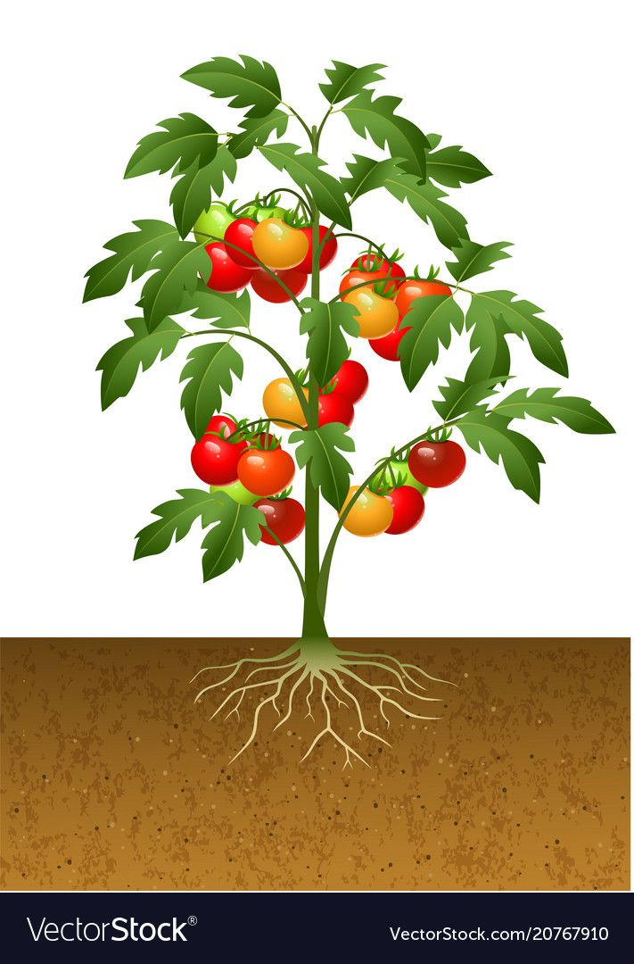 Tomato Plant With Root Under The Ground Royalty Free Vector Tomato Plants Plants Growing Tomato Plants