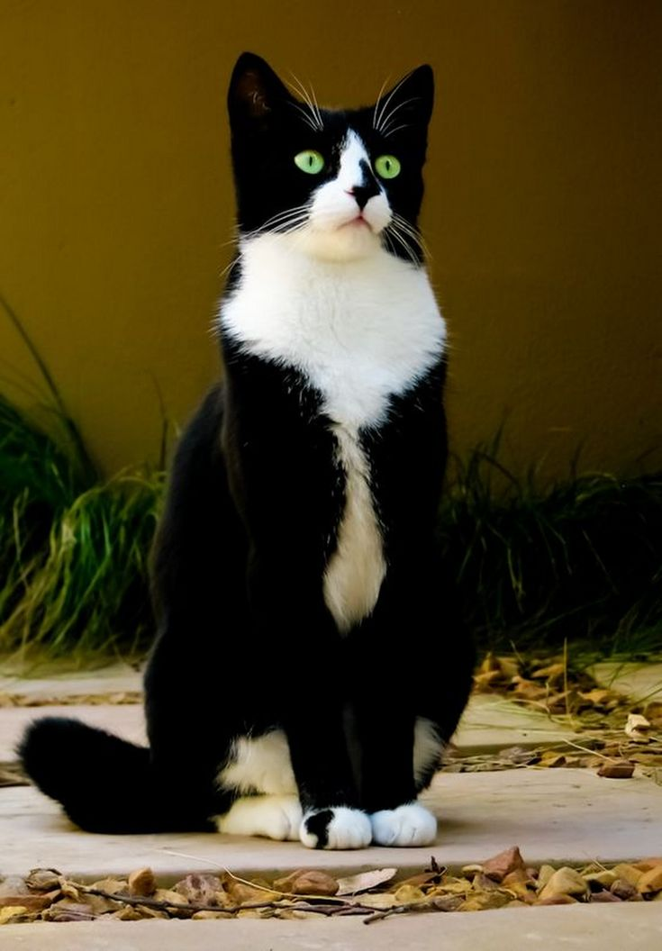 A very handsome tuxedo kitty!