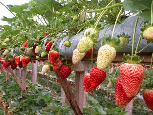 plantas de frutillas cuidados - Buscar con Google