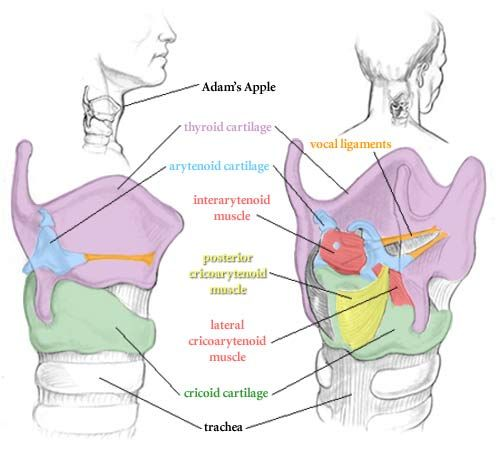 25  Best Images About Vocal Anatomy On Pinterest