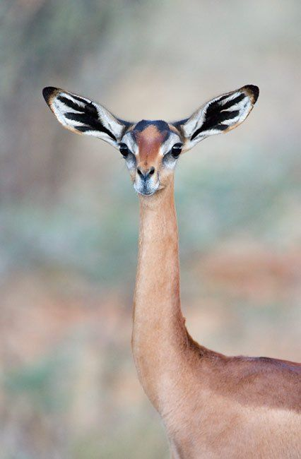 The gerenuk or Waller's gazelle found in the Horn of Africa and the African Great Lakes region. Stunning animal.