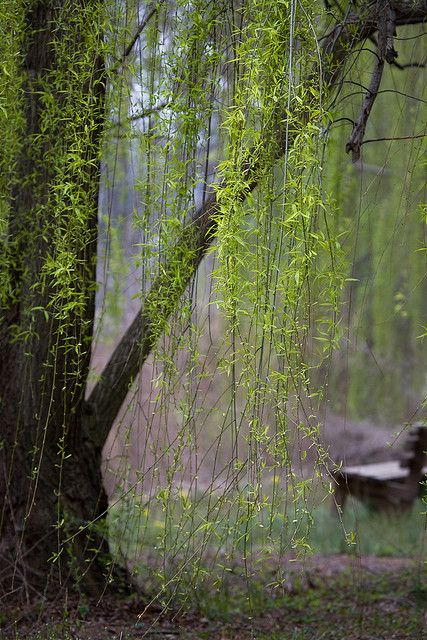 Weeping willow gardens pinterest for Garden trees england