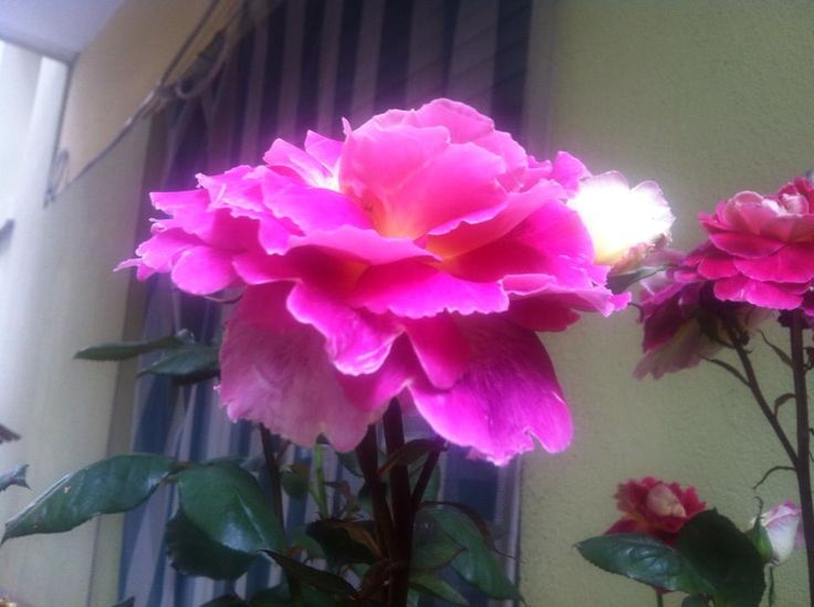 Rosa (Sergio Pusceddu)