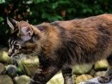 Maine Coon, black torti tabby ticked (f 25). Ch. Candycoon`s Georgy Girl
