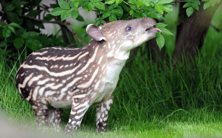 Baby tapir Parima enjoys some leaves during its first outing at its open air enclosure of the  Hagenbeck zoo in Hamburg, northern Germany