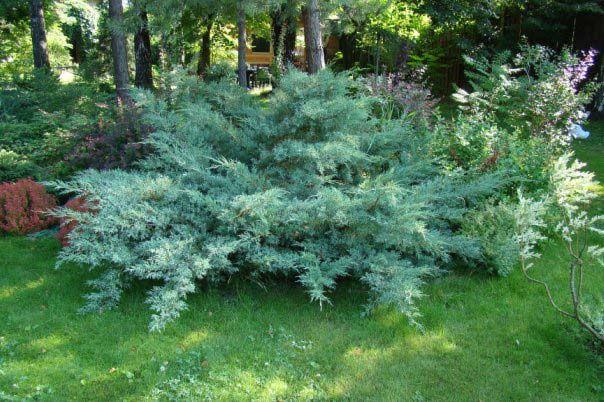 Juniperus virginiana Hetz. Aukštis apie 1m., plotis apie 1,5m.