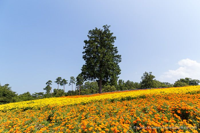 Flower Hill at Tottori Hanakairo Flower Park- Japan