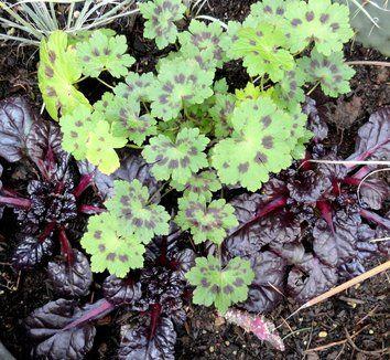 Geranium phaeum 'Samobor' 18