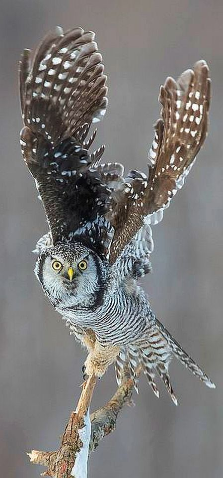 AMAZING .... Northern Hawk-Owl - CANADA - Saint-Augustin Desmaures - Québec #by Anthony Fontaine on flickr.com