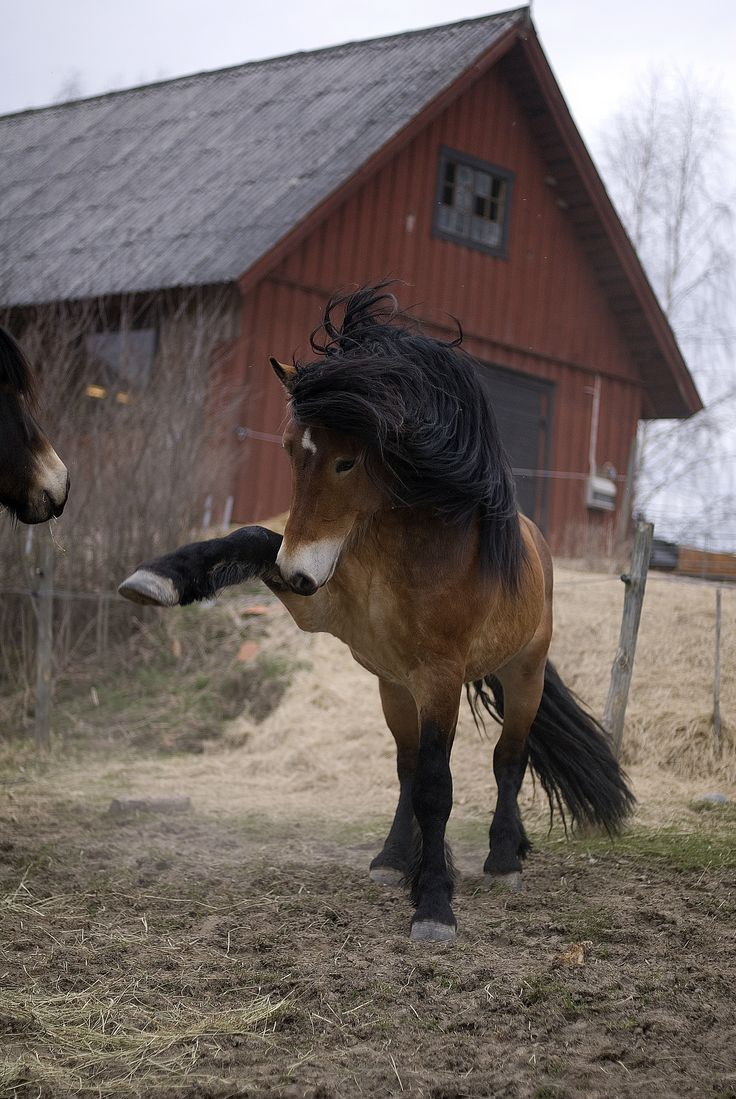 North Swedish horse (Nordsvensk) Prancing at other horse in the paddock. Such a cute fuzzy horse with full bushy pretty mane! Country life!