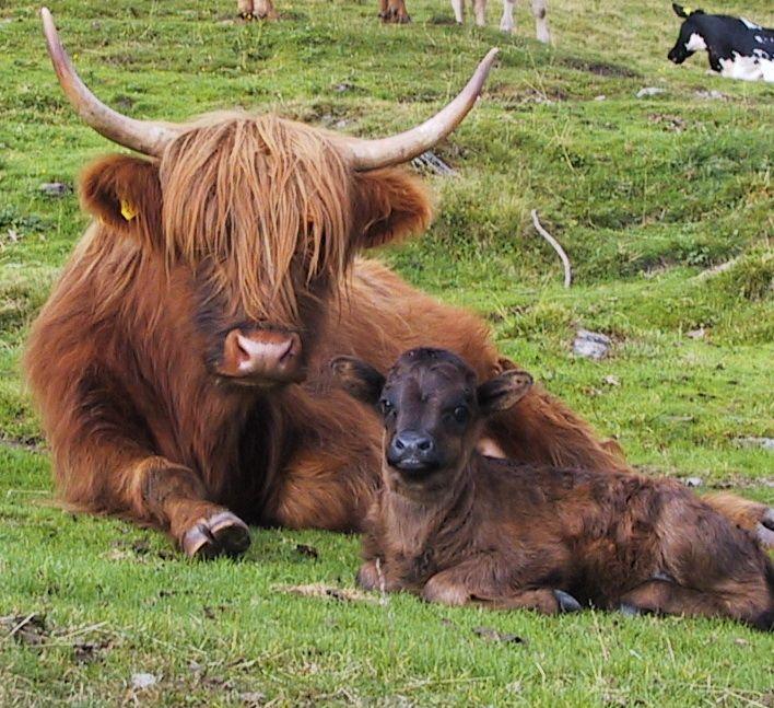 Massentötung von schottischen Hochlandrindern. http://tiersos.de/massentoetung-schottisches-hochlandrind/