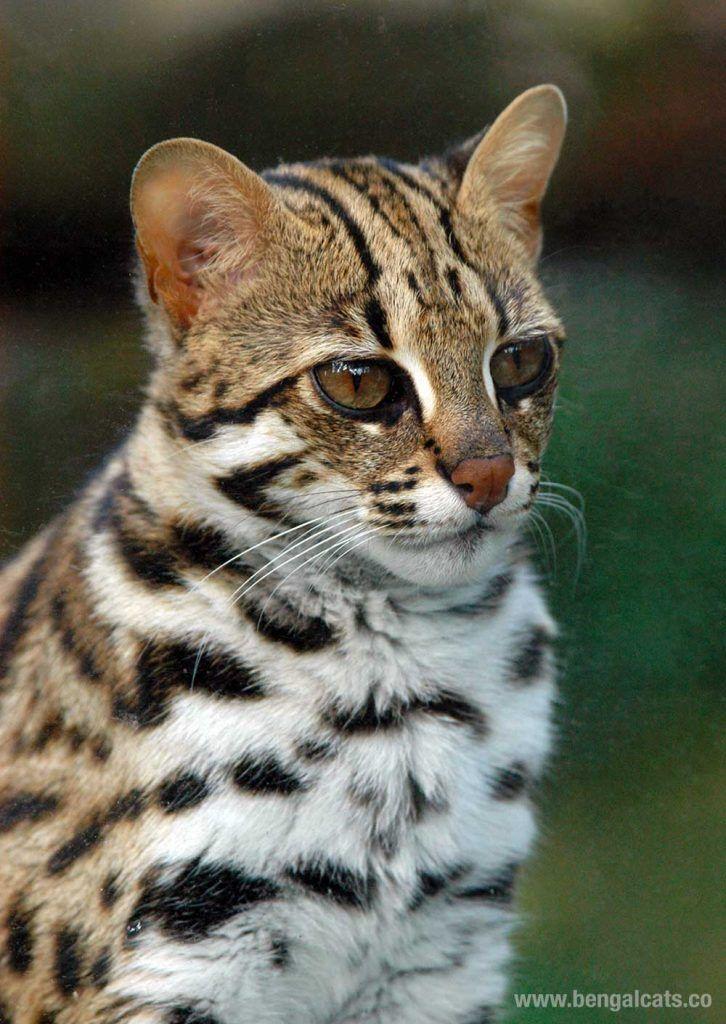 Asian Leopard cat in the wild https://www.bengalcats.co/asian-leopard-cat-felis-bengalensis/