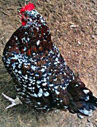Speckled/ Sussex Chicken: A Favorite Backyard Breed