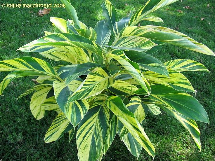Ginger shell plant Variegated Alpinia