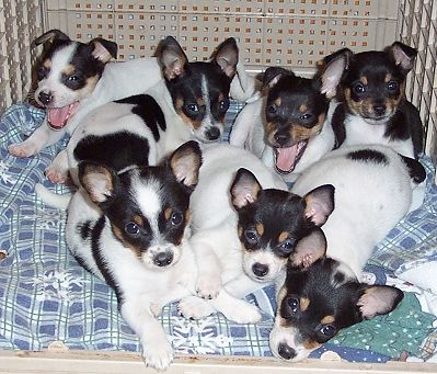 Image: Courtesy of New Rattitude, Inc. Rat Terrier Rescue
