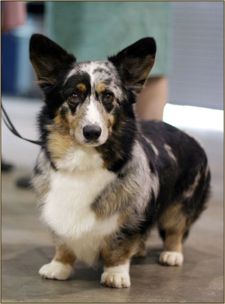 Cardigan Corgi Ivy, she's beautiful!