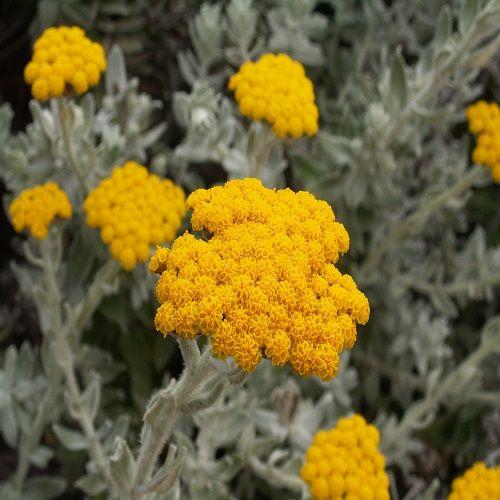 Ελίχρυσος . Ένα φυτό με πολλές χρήσεις