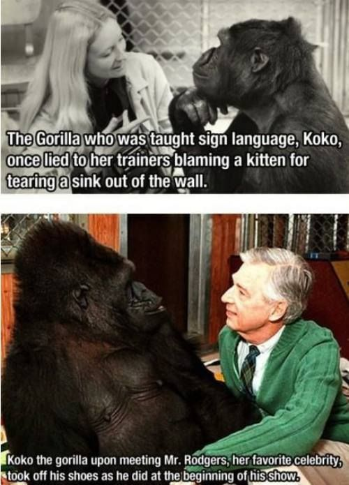Koko the gorilla.  Really?