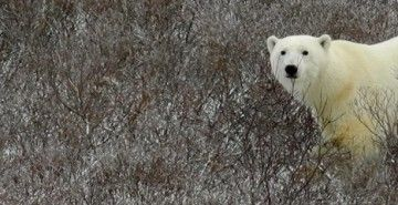 See Polar Bears in the Wild