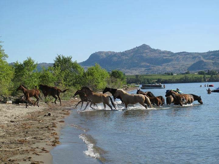 Wild horses in Osoyoos BC