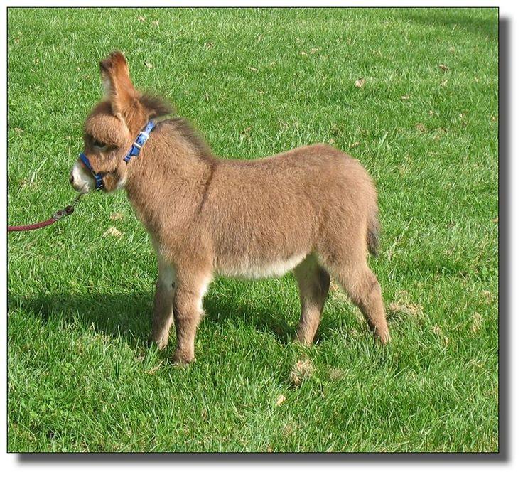 mini donkey | Elms Farm Miniature Donkeys | Petting Zoo ...
