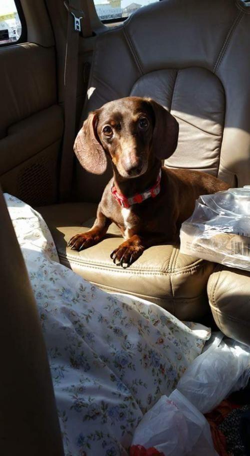 JoJo Dog • Dachshund • Adult • Male • Small PAW First Rescue Ponca City, OK